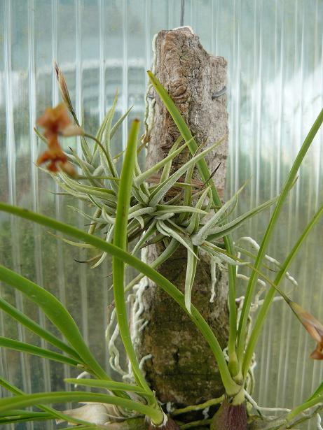 Tillandsia sp..JPG